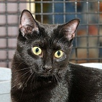 Domestic Shorthair Cat for adoption in Penndel, Pennsylvania - Chilly