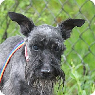 Standard Schnauzer Dog for adoption in Spring, Texas - Derek