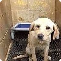 Adopt A Pet :: BLONDIE LAB - Pompton lakes, NJ