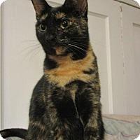 Domestic Shorthair Cat for adoption in Philadelphia, Pennsylvania - Skylar