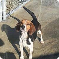Adopt A Pet :: Tug - Birmingham, AL