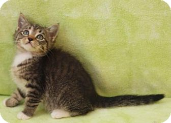 Domestic Shorthair Kitten for adoption in Elkhorn, Wisconsin - Ginger