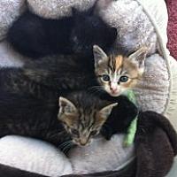 Domestic Shorthair Kitten for adoption in Birmingham, Alabama - Misc Kittens