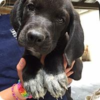 Adopt A Pet :: Cameron - Cashiers, NC