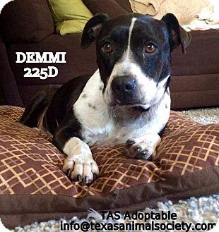 American Bulldog Dog for adoption in Spring, Texas - Demmi