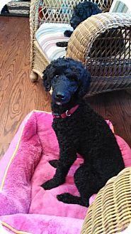 Poodle (Miniature) Dog for adoption in Spartanburg, South Carolina - Spencer Reid
