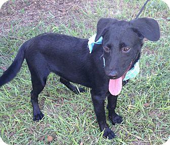 Labrador Retriever Mix Dog for adoption in Brattleboro, Vermont - Bo ~ DOB 03/10/16!