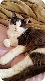 Domestic Mediumhair Cat for adoption in DFW Metroplex, Texas - Lilly