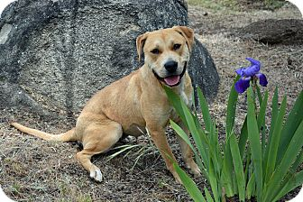Labrador Retriever/American Staffordshire Terrier Mix Dog for adoption in Mountain Center, California - Faith