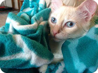 Domestic Mediumhair Kitten for adoption in Plano, Texas - POWDER