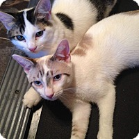Snowshoe Kitten for adoption in Virginia Beach, Virginia - Jerry