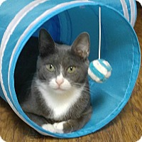 Domestic Shorthair Cat for adoption in Amherst, Massachusetts - Silver Belle