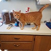 Adopt A Pet :: Kittens/cats - Indianola, IA