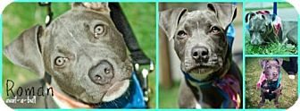 Pit Bull Terrier Mix Dog for adoption in Hillsborough, New Jersey - Roman
