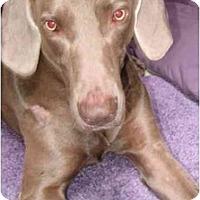 Adopt A Pet :: Bullet  **ADOPTED** - Eustis, FL