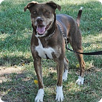 Boxer/Pit Bull Terrier Mix Dog for adoption in Parsons, Kansas - Tristan