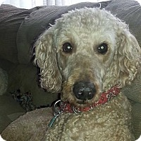 Adopt A Pet :: Brandi - Courtesy Post - Piqua, OH