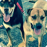 Adopt A Pet :: Clyde and Bonnie - Norman, OK