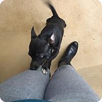 Adopt A Pet :: Hermione - Bradenton, FL