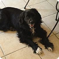 Adopt A Pet :: Sir Fluff - New York, NY