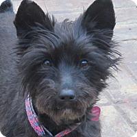 Adopt A Pet :: Shatzi - Spring Valley, NY