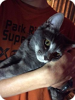 Egyptian Mau Kitten for adoption in Albemarle, North Carolina - Princess