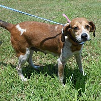 Redtick Coonhound/Hound (Unknown Type) Mix Dog for adoption in Halifax, North Carolina - Priss Pot