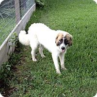 Adopt A Pet :: Pippi - Sugarland, TX