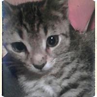 Domestic Shorthair Kitten for adoption in Trevose, Pennsylvania - Kirby