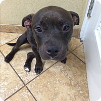 Staffordshire Bull Terrier Dog for adoption in calimesa, California - Precious