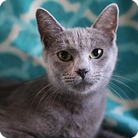 Manx Cat for adoption in Hagerstown, Maryland - Alberta