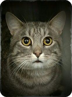 Domestic Shorthair Cat for adoption in Pueblo West, Colorado - Zamboni