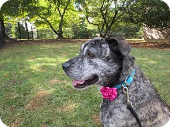 Plott Hound/Catahoula Leopard Dog Mix Dog for adoption in Alpharetta, Georgia - Dulcie