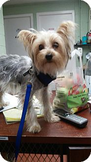 Yorkie, Yorkshire Terrier Dog for adoption in Long Beach, New York - Lilly