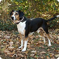 Beagle Mix Dog for adoption in Andover, Connecticut - BARNEY FIFE