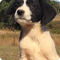 Adopt A Pet :: Hannah - Spring Valley, NY