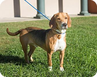 Beagle Dog for adoption in Boston, Massachusetts - George