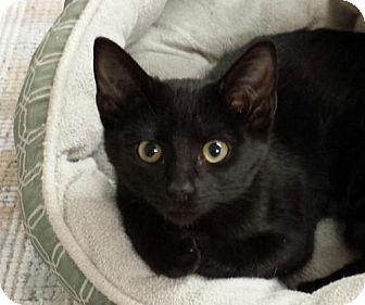 Domestic Shorthair Kitten for adoption in Knoxville, Tennessee - Licorice