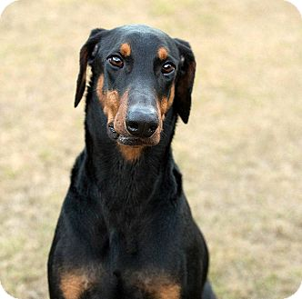 Doberman Pinscher Dog for adoption in Groton, Massachusetts - Deuce