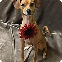 Adopt A Pet :: Ivy - Philadelphia, PA