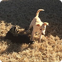 Adopt A Pet :: POLLI - KITTERY, ME