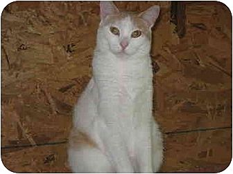 Domestic Shorthair Cat for adoption in Bloomsburg, Pennsylvania - Sugar