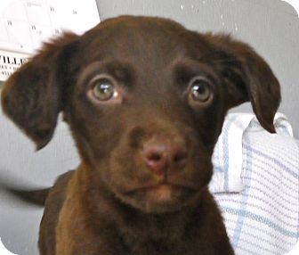 Labrador Retriever Mix Puppy for adoption in Metamora, Indiana - Liam