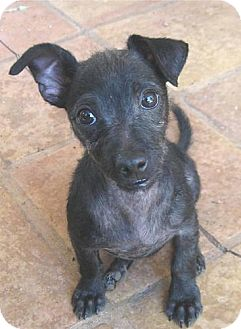Terrier (Unknown Type, Small) Mix Puppy for adoption in Phoenix, Arizona - Scrappy