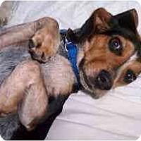 Adopt A Pet :: Amanda - Novi, MI