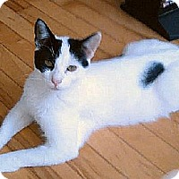 Domestic Shorthair Cat for adoption in Hudson, New York - Domino (Bev's Foster)