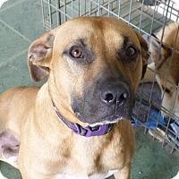 Adopt A Pet :: BRODIE - Paron, AR