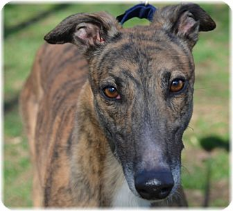 Greyhound Dog Rescue Pa