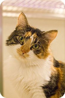 Calico Cat for adoption in Grayslake, Illinois - Frannie