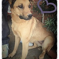 Adopt A Pet :: Shep - Groton, MA